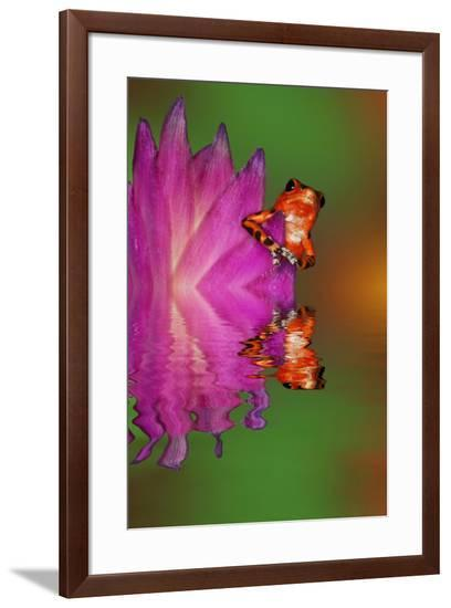 South America, Panama. Strawberry poison dart frog reflects on water.-Jaynes Gallery-Framed Premium Photographic Print