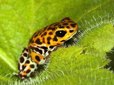 https://imgc.allpostersimages.com/img/posters/south-america-panama-yellow-form-of-poison-dart-frog-on-spiny-plant_u-L-Q1D0CB50.jpg?p=0