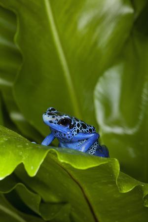 https://imgc.allpostersimages.com/img/posters/south-america-suriname-blue-dart-frog-on-leaf_u-L-Q1D0DXK0.jpg?p=0