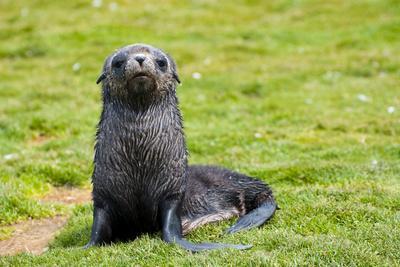 https://imgc.allpostersimages.com/img/posters/south-georgia-salisbury-plain-antarctic-fur-seal-pup_u-L-PU3NFS0.jpg?p=0
