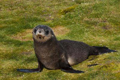 https://imgc.allpostersimages.com/img/posters/south-georgia-salisbury-plain-antarctic-fur-seal-pup_u-L-PU3NG70.jpg?p=0