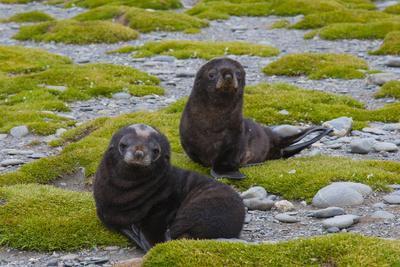 https://imgc.allpostersimages.com/img/posters/south-georgia-salisbury-plain-antarctic-fur-seal-pups_u-L-PU3NGM0.jpg?p=0