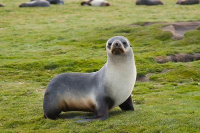https://imgc.allpostersimages.com/img/posters/south-georgia-salisbury-plain-antarctic-fur-seal-standing_u-L-PU3NH10.jpg?p=0