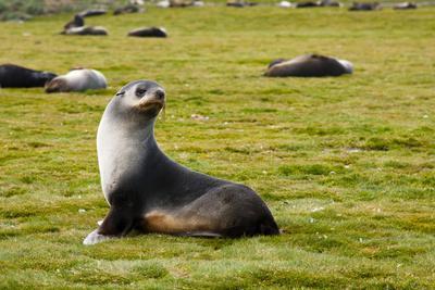 https://imgc.allpostersimages.com/img/posters/south-georgia-salisbury-plain-antarctic-fur-seal_u-L-PU3NHG0.jpg?p=0