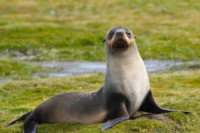 https://imgc.allpostersimages.com/img/posters/south-georgia-salisbury-plain-antarctic-fur-seal_u-L-PU3NHV0.jpg?p=0