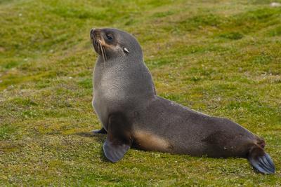 https://imgc.allpostersimages.com/img/posters/south-georgia-salisbury-plain-antarctic-fur-seal_u-L-PU3NIP0.jpg?p=0