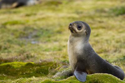 https://imgc.allpostersimages.com/img/posters/south-georgia-stromness-antarctic-fur-seal-arctocephalus-gazella_u-L-PU3D5M0.jpg?p=0