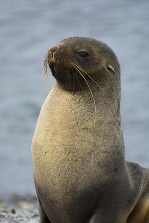 https://imgc.allpostersimages.com/img/posters/south-georgia-stromness-antarctic-fur-seal-arctocephalus-gazella_u-L-PU3D610.jpg?artPerspective=n