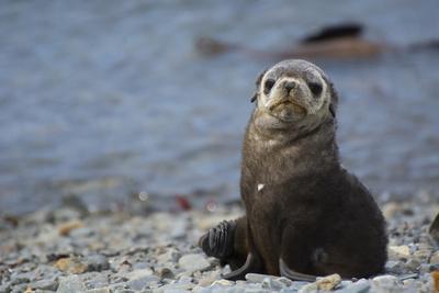 https://imgc.allpostersimages.com/img/posters/south-georgia-stromness-antarctic-fur-seal-arctocephalus-gazella_u-L-PU3D6G0.jpg?p=0