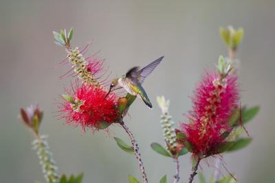 https://imgc.allpostersimages.com/img/posters/south-padre-island-texas-black-chinned-hummingbird-at-bottlebrush_u-L-PU3DZR0.jpg?p=0
