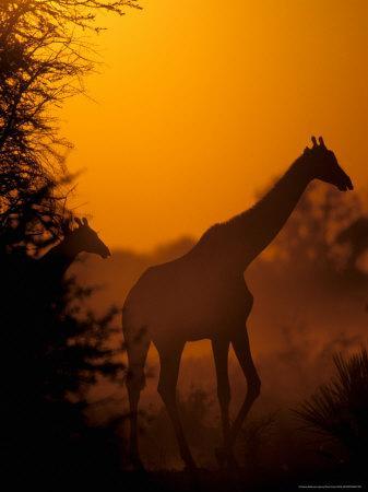 https://imgc.allpostersimages.com/img/posters/southern-giraffe-and-acacia-tree-moremi-wildlife-reserve-botswana_u-L-P5809S0.jpg?p=0