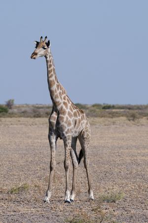 https://imgc.allpostersimages.com/img/posters/southern-giraffe-giraffa-camelopardalis-central-kalahari-national-park-botswana-africa_u-L-PQ8N0Z0.jpg?p=0