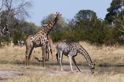 https://imgc.allpostersimages.com/img/posters/southern-giraffe-giraffa-camelopardalis-khwai-concession-okavango-delta-botswana-africa_u-L-PQ8SBB0.jpg?p=0