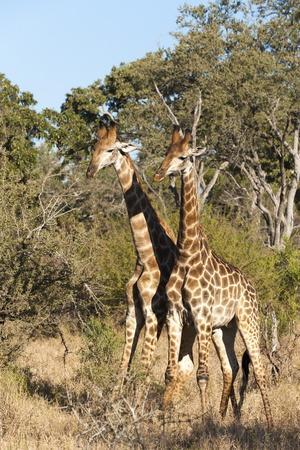 https://imgc.allpostersimages.com/img/posters/southern-giraffe-giraffa-camelopardalis-mala-mala-game-reserve-south-africa-africa_u-L-PQ8R5B0.jpg?p=0