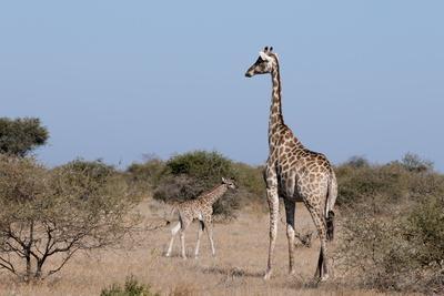 https://imgc.allpostersimages.com/img/posters/southern-giraffe-giraffa-camelopardalis-mashatu-game-reserve-botswana-africa_u-L-PQ8SQN0.jpg?p=0