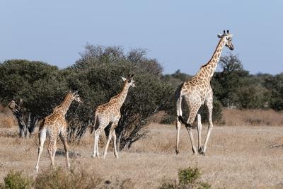 https://imgc.allpostersimages.com/img/posters/southern-giraffe-giraffa-camelopardalis-mashatu-game-reserve-botswana-africa_u-L-PQ8SQZ0.jpg?p=0