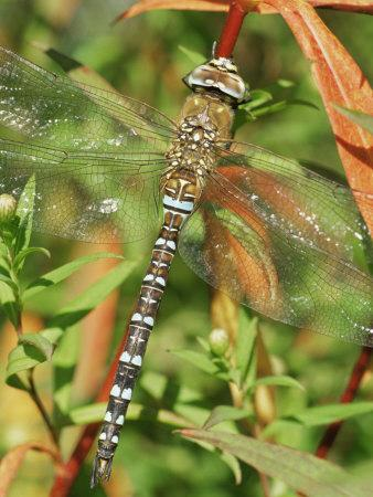 https://imgc.allpostersimages.com/img/posters/southern-hawker-dragonfly-broxwater-cornwall-uk_u-L-Q10O23R0.jpg?p=0