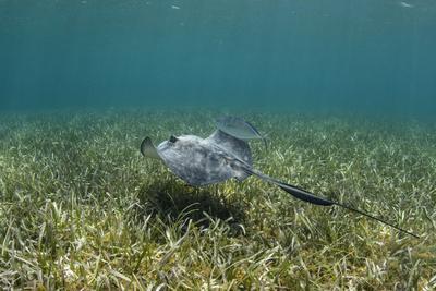 https://imgc.allpostersimages.com/img/posters/southern-stingray-and-bar-jack-belize-barrier-reef-belize_u-L-Q12TB7V0.jpg?p=0