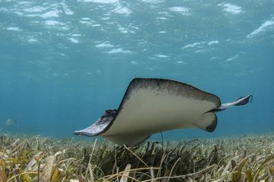 https://imgc.allpostersimages.com/img/posters/southern-stingray-belize-barrier-reef-belize_u-L-Q12TB8S0.jpg?p=0