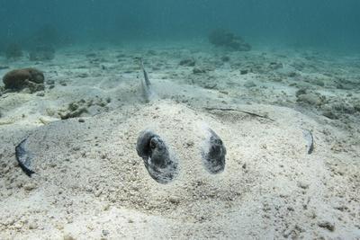 https://imgc.allpostersimages.com/img/posters/southern-stingray-belize-barrier-reef-belize_u-L-Q12TB9R0.jpg?artPerspective=n