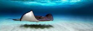 Southern Stingray (Dasyatis Americana), North Sound, Grand Cayman, Cayman Islands