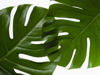 Monstera Leaves by sozaijiten/Datacraft
