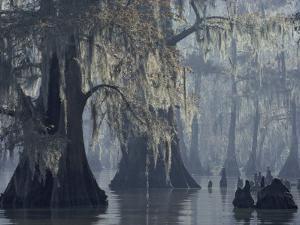 Spanish Moss Drapes Old Cypress Trees on Lake Verret, Louisiana