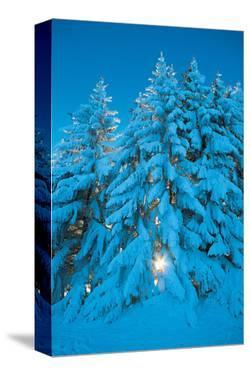 Sparkling Pines