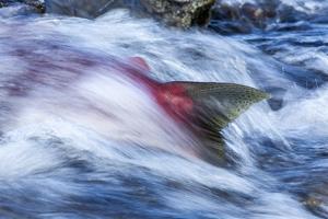 Spawning Salmon, Katmai National Park, Alaska