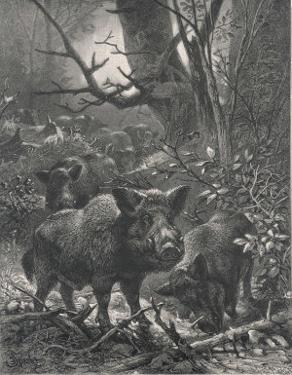 Herd of Wild Boar Wander Through the Woods by Specht