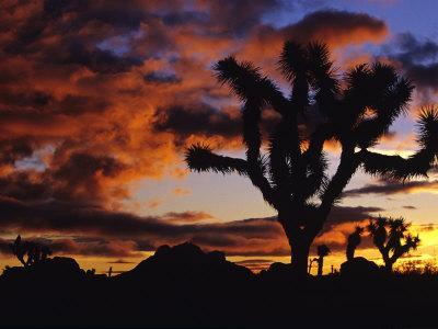 https://imgc.allpostersimages.com/img/posters/spectacular-sunrise-at-joshua-tree-national-park-california-usa_u-L-P42L7D0.jpg?p=0