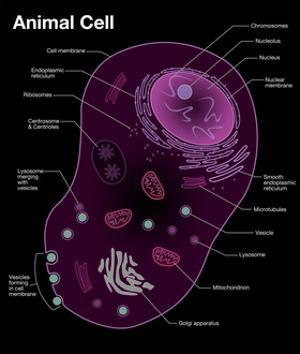 Animal Cell Diagram by Spencer Sutton