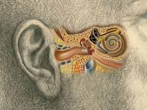 Human Ear by Spencer Sutton