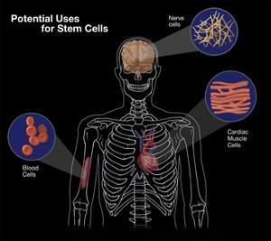 Potential Uses for Stem Cells by Spencer Sutton