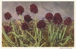 Spiky Flowers in Field, Vanilla Orchids