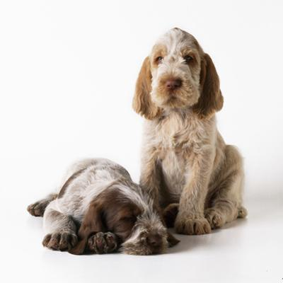 Spinone Puppies X2
