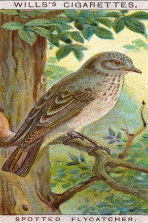 https://imgc.allpostersimages.com/img/posters/spotted-flycatcher_u-L-PRBTCO0.jpg?p=0