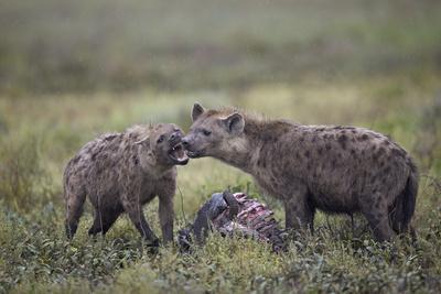 https://imgc.allpostersimages.com/img/posters/spotted-hyena-crocuta-crocuta-at-a-blue-wildebeest-brindled-gnu-carcass_u-L-PWFI5Z0.jpg?p=0