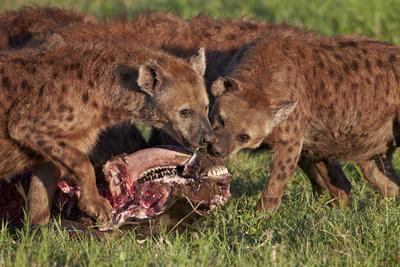 https://imgc.allpostersimages.com/img/posters/spotted-hyena-or-spotted-hyaena-crocuta-crocuta-at-a-cape-buffalo-kill_u-L-PNFYJD0.jpg?artPerspective=n