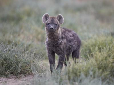 https://imgc.allpostersimages.com/img/posters/spotted-hyena-spotted-hyaena-crocuta-crocuta-juvenile_u-L-PWFCP40.jpg?p=0