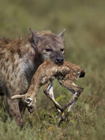 https://imgc.allpostersimages.com/img/posters/spotted-hyena-spotted-hyaena-crocuta-crocuta-with-a-baby-thomson-s-gazelle-gazella-thomsonii_u-L-PWFCS80.jpg?p=0