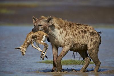 https://imgc.allpostersimages.com/img/posters/spotted-hyena-spotted-hyaena-crocuta-crocuta-with-a-baby-thomson-s-gazelle-gazella-thomsonii_u-L-PWFEPV0.jpg?p=0