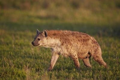 https://imgc.allpostersimages.com/img/posters/spotted-hyena-spotted-hyaena-crocuta-crocuta_u-L-PWFEQV0.jpg?p=0