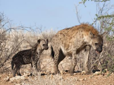 https://imgc.allpostersimages.com/img/posters/spotted-hyena-with-cub-south-africa-africa_u-L-PFNOIG0.jpg?artPerspective=n