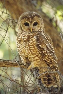 Spotted Owl Inhabits Thickly Wooded Canyons