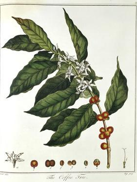 Sprig of Coffee (Coffea Arabic) Showing Flowers and Beans, 1798