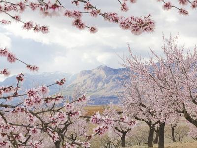 https://imgc.allpostersimages.com/img/posters/spring-almond-blossom-andalucia-spain-europe_u-L-PXW7830.jpg?p=0