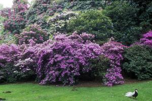 "Spring-flowering bushes at the """" Prato dei Gobbi"""", Isola Madre, Stresa, Piedmont, Italy"