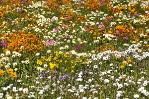 Spring Flowers, Namaqualand, West Coast, South Africa (photo)