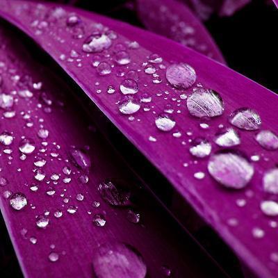 https://imgc.allpostersimages.com/img/posters/spring-rain-on-petals_u-L-F5X23C0.jpg?p=0